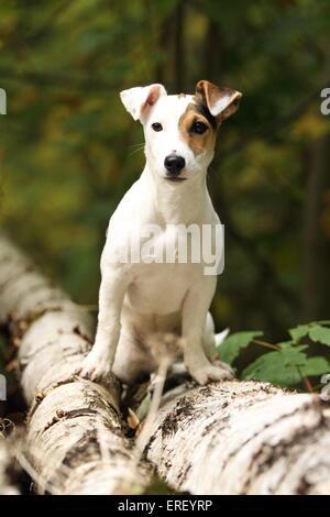 Jack Russell Terrier sitzend - Stockfoto