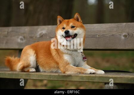 liegenden Shiba Inu - Stockfoto