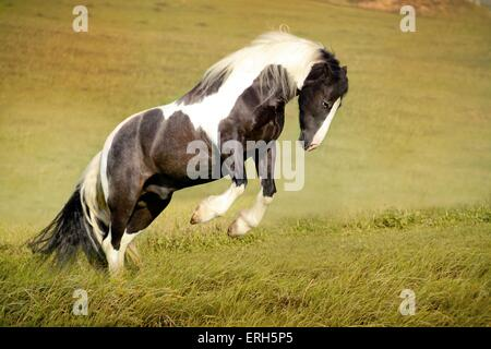 Irish Tinker im Galopp - Stockfoto