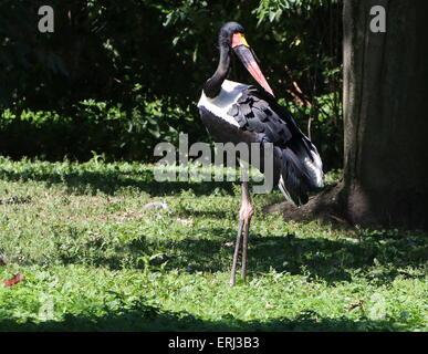 Storchenmann westafrikanischen Sattel in Rechnung gestellt (Nahrung Senegalensis) - Stockfoto