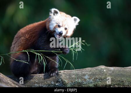 kleinere panda ailurus fulgens roter panda wolong sichuan china asien ein tier b umen schlafen. Black Bedroom Furniture Sets. Home Design Ideas