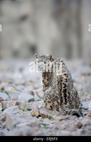 Snow leopard - Stockfoto