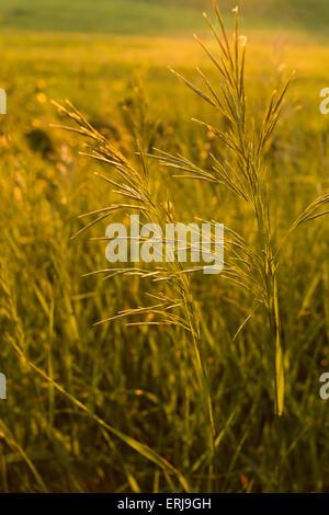 Golden wildes Gras bei Sonnenuntergang - Stockfoto