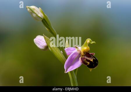Eine einzelne Spitze der Biene Orchidee (Ophrys Apifera) mit einer Blüte und zwei Knospen wachsen in eine Wildblumenwiese - Stockfoto