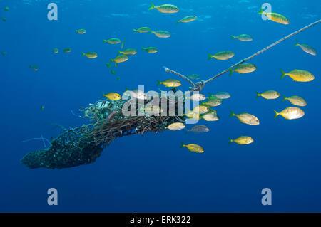 Juvenile Bigeye Trevally, Caranx Sexfasciatus rund um freie gewichtete Anker der Fish Aggregation Gerät, Süd Male - Stockfoto