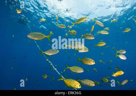 Schule der juvenilen Bigeye Makrelen, Caranx Sexfasciatus unter Fish Aggregation Gerät, Süd Male Atoll, Malediven - Stockfoto