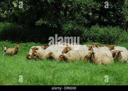 hütenden Border Collie - Stockfoto