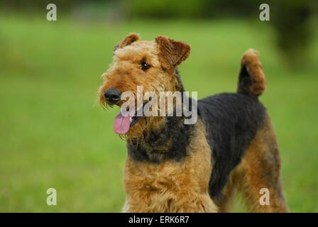 Airedale Terrier Portrait - Stockfoto