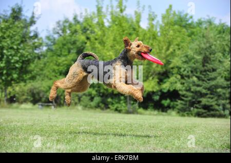 Airedale Terrier spielen - Stockfoto