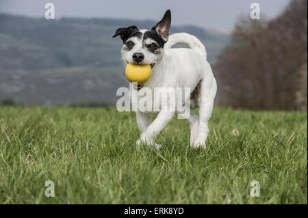 Jack Russell Terrier spielen - Stockfoto