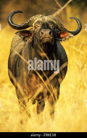 Afrikanischer Büffel (Syncerus Caffer Caffer), Stier, South Luangwa Nationalpark, Sambia - Stockfoto