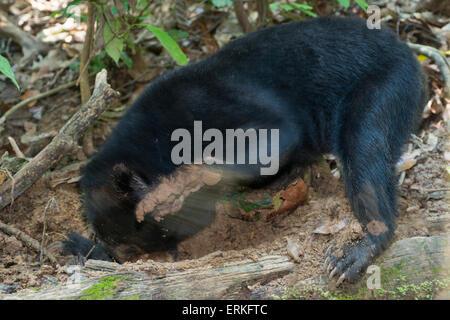 Bornean Sonne-Bär, Helarctos Malayanus, auf der Suche nach Larven an die Bornean Sun Bear Conservation Centre, BSBCC, - Stockfoto