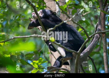 Bornean Sun Bear, Helarctos Malayanus, ruht in den Ästen eines Baumes auf die Bornean Sun Bear Conservation Centre, - Stockfoto