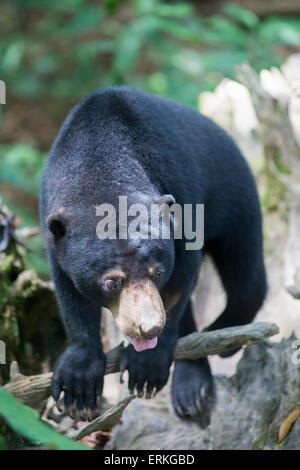 Bornean Sun Bear, Helarctos Malayanus, entspannen Sie sich auf Protokoll an die Bornean Sun Bear Conservation Centre, - Stockfoto