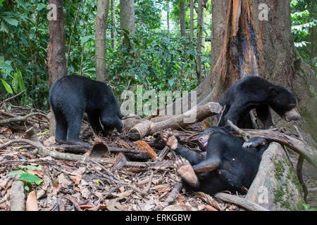 Drei Bornean Malaienbären, Helarctos Malayanus, an die Bornean Sun Bear Conservation Centre, BSBCC, in Sepilok, - Stockfoto
