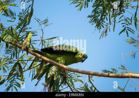 Wild Blue-fronted Amazon Parrot, Amazona Aestiva, thront auf dem Ast eines Baumes im Pantanal, Mato Grosso, Brasilien - Stockfoto