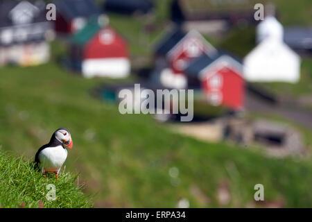 Papageitaucher mit einem typisch nordischen Dorf im Hintergrund - Stockfoto