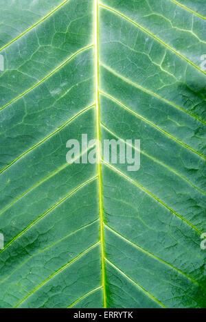 Nahaufnahme der Venen durch ein dunkles Grün Blatt in einem Cloud-Wald in der Nähe von Mindo, Ecuador - Stockfoto