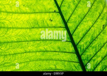 Abstrakte Nahaufnahme von einem grünen Blatt bilden ein interessantes Muster mit Adern durchzogen - Stockfoto