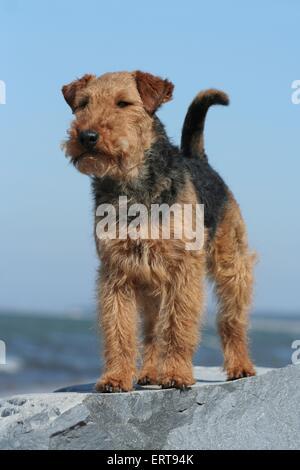 Welsh Terrier stehend - Stockfoto