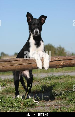 Border-Collie-Welpen - Stockfoto