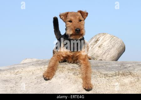 Welsh Terrier liegend - Stockfoto