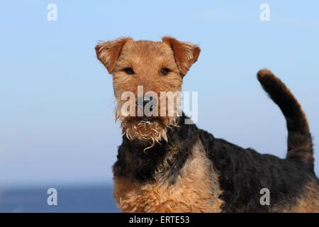 Welsh Terrier Portrait - Stockfoto
