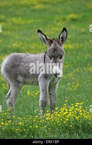 Miniatur Esel Fohlen (Equus Asinus F. Asinus), Kaposvár, Süd-Transdanubien, Ungarn - Stockfoto