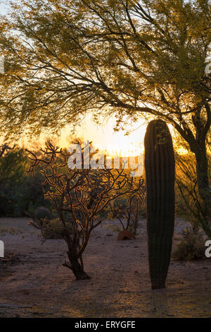 Saguaro-Kakteen (Carnegiea Gigantea) und Hirschhorn Cholla Kaktus (Opuntia versicolor) bei Sonnenuntergang, Sonora - Stockfoto