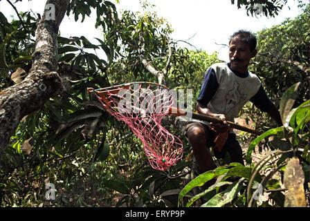 Arbeiter Alphonso-Mangos in Hof im Ortsteil Ratnagiri Velas zupfen; Maharashtra; Indien 26. April 2009 - Stockfoto