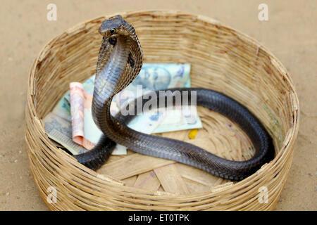 Kobra Schlange in einem Korb mit Geld; Rajasthan; Indien - Stockfoto