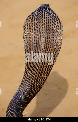 Kobra Schlange in aggressive Stellung; Rajasthan; Indien - Stockfoto