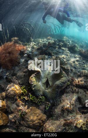 Eine Riesenmuschel (Tridacna Gigas) wächst auf ein flaches Riff am Rande von einem Mangrovenwald in Raja Ampat, - Stockfoto
