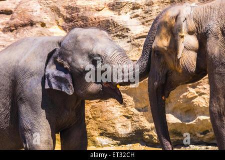 Pinnawala Elephant Orphanage, Elefanten spielen im Maha Oya Fluss in der Nähe von Kegalle im Hill Country von Sri - Stockfoto