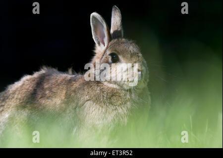 Europäische Kaninchen oder gemeinsame Kaninchen (Oryctolagus Cuniculus) in einem Garten - Stockfoto