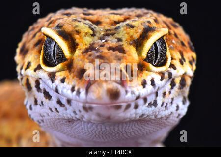 Leopardgecko (Eublepharis Macularius)