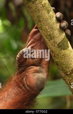 Orang Utan, Orang-Utan, Orang Utan (Pongo Pygmaeus), viel Aufhebens ein Einem Ast, Malaysia, Sabah | Orang Utan, - Stockfoto