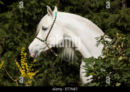 Arabische Stute, portrait - Stockfoto