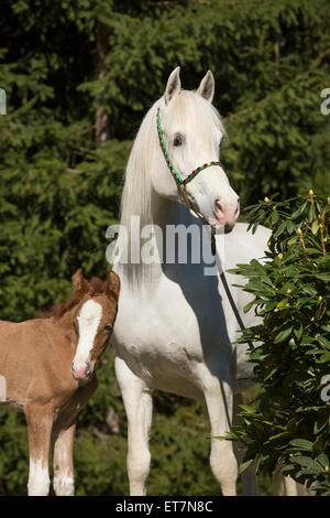 Weiße arabische Stute mit Fohlen - Stockfoto
