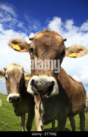 Hausrind (Bos Primigenius F. Taurus), Zwei Rinder Auf der Weide Mit Fliegen Auf der Nase, Deutschland, Bayern | - Stockfoto