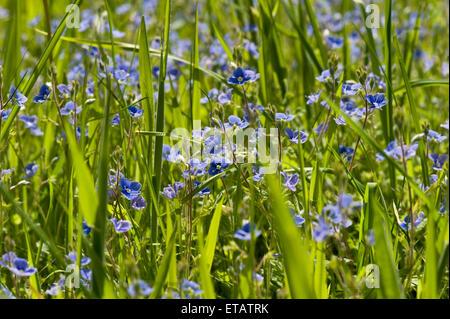 Gamander ehrenpreis veronica chamaedrys wegerichgew chse scrophulariaceae auch bekannt als - Vogelperspektive englisch ...