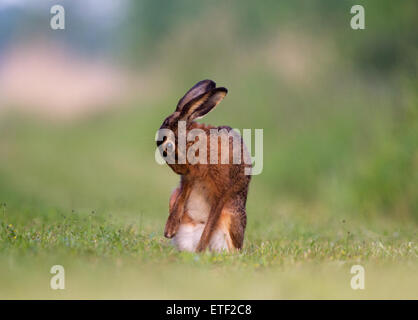 Ein Feldhase oder Jackrabbit, waschen - Stockfoto