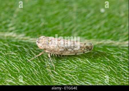 leafhopper stockfoto bild 309931381 alamy. Black Bedroom Furniture Sets. Home Design Ideas