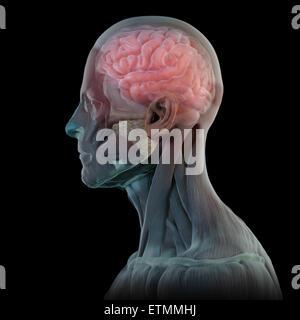 Konzeptbild im Stil von einem Tonmodell der Muskeln des Gesichts mit dem Gehirn sichtbar. - Stockfoto