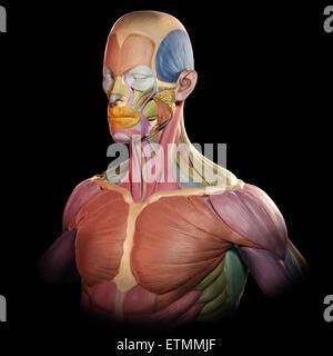 Die stilisierte Abbildung der Muskeln des Gesichts und des Oberkörpers im Stil von einem Tonmodell mit jedem Muskel - Stockfoto