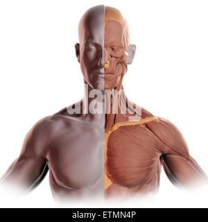 Konzeptbild im Stil von einem Tonmodell des Gesichts und des oberen Körpers mit Muskel auf der einen Seite ausgesetzt. - Stockfoto
