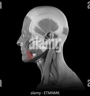 Konzeptbild der Muskeln des Gesichts mit den Depressor Anguli Oris Muskeln hervorgehoben. - Stockfoto