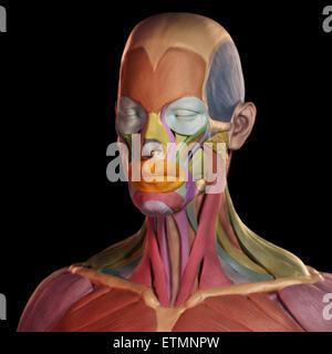 Die stilisierte Abbildung der Muskeln des Gesichts im Stil von einem Tonmodell mit jedem Muskel farblich gekennzeichnet. - Stockfoto