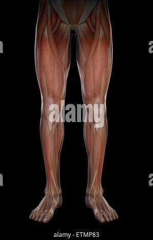 Darstellung der Muskulatur und Skelett-Struktur der Beine, durch die ...