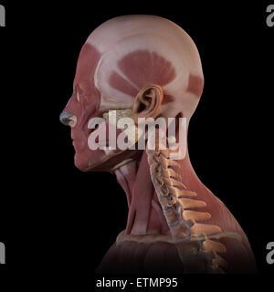 Konzeptbild der Muskeln des Gesichts mit den Halswirbeln sichtbar. - Stockfoto